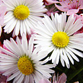 White Yellow Daisy Flowers Art Prints Pink Blossoms by Baslee Troutman