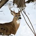 Whitetail Buck Profile by Lori Tordsen