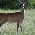 Whitetail Deer by D Nigon