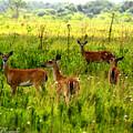 Whitetail Deer Family by Barbara Bowen