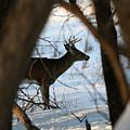 Whitetail Deer Threw The Trees by Lori Tordsen