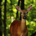 Whitetail Doe by Charles Ray