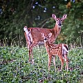 Whitetail Doe With Fawn by Ronald Lutz