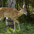 Whitetail Fawn by Gary Beeler