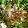 Whitetail Fawn II by James Berger