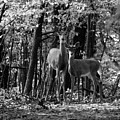 Whitetail Walk In The Woods by Scott Hovind