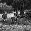 Whitetailed Deers by Jouko Lehto