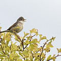 Whitethroat  by Chris Smith