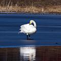 Whooper Swan 2 by Jouko Lehto