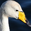 Whooper Swan by FL collection