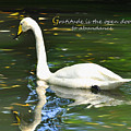 Whooper Swan Gratitude by Diane E Berry