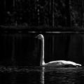 Whooper Swan In Bw 2 by Jouko Lehto