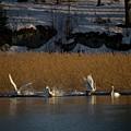 Whooper Swan Nr 12  by Jouko Lehto