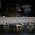 Whooper Swan Nr 13 by Jouko Lehto
