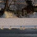 Whooper Swan Nr 14 by Jouko Lehto