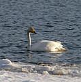 Whooper Swan Nr 3 by Jouko Lehto