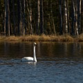 Whooper Swan Of Liesilampi 3 by Jouko Lehto