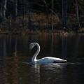 Whooper Swan Of Liesilampi 5 by Jouko Lehto