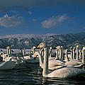 Whooper Swans In Winter by Jean-Louis Klein & Marie-Luce Hubert
