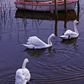 Whooper Swans On River by Martyn Arnold