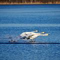 Whooper Swans Trio by Jouko Lehto