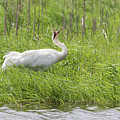 Whooping Crane 2017-10 by Thomas Young