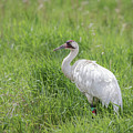 Whooping Crane 2017-12 by Thomas Young