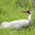 Whooping Crane 2017-9 by Thomas Young
