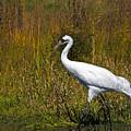 Whooping Crane by Al  Mueller