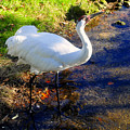 Whooping Crane by David Lee Thompson