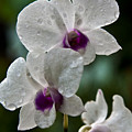 Whte Orchids by George Cabig