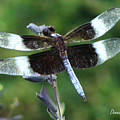 Widow Skimmer Dragonfly by Donna Brown