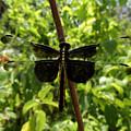 Widow Skimmer Dragonfly Female by Donna Brown