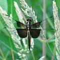 Widow Skimmer Dragonfly by Joshua Bales