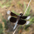 Widow Skimmer Dragonfly Male by Donna Brown