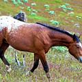 Wild Appaloosa Stallion by Waterdancer