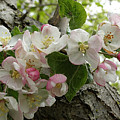 Wild Apple Blossoms by Angie Rea
