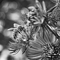 Wild Aster And Honey Bee Bw by Steve Harrington