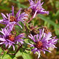 Wild Asters by Peggy King