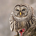 Wild Barred Owl With Prey by Mircea Costina Photography