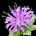 Wild Bergamot Also Known As Bee Balm by Jim Hughes