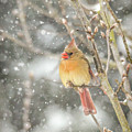 Wild Birds Of Winter - Female Cardinal In The Snow by Kerri Farley
