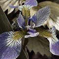 Wild Blue Iris by Jeff Folger