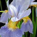 Wild Blue Mountain Iris by Sam Davis Johnson