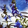 Wild Blue Sage  by Shelli Fitzpatrick