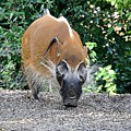 Wild Boar by Jan Amiss Photography
