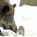 Wild Boar Mother And Baby by Duncan Usher