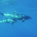 Wild Bottle-nosed Dolphin Mother And Calf by Sami Sarkis