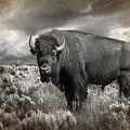 Wild Buffalo In Yellowstone by Randall Nyhof