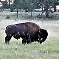 Wild Buffalo by Rob Hans